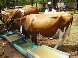 Livestock farming in Kenya