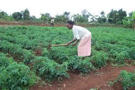 Horticultural farming in Kenya